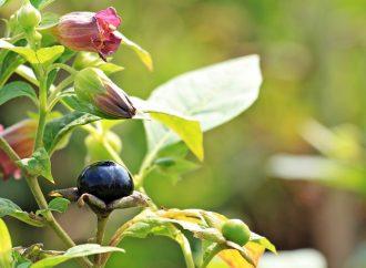 Pokrzyk wilcza jagoda – wskazania, zastosowanie